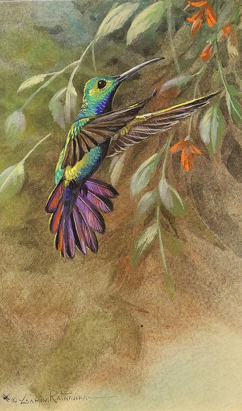 Green Throated Mango Hummingbird.JPG
