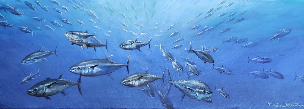 Shoal of blue fin tuna.jpg