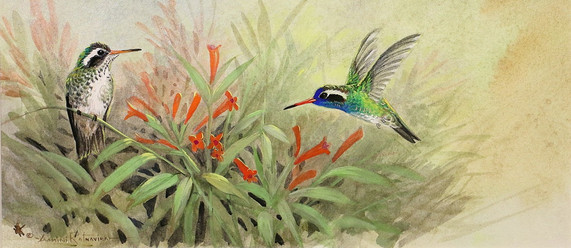 White Eared Hummingbirds.JPG