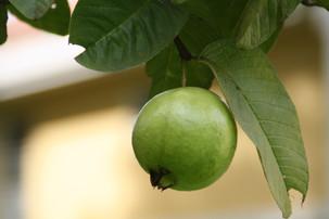 Fresh Guavas are rich source of vitamin c