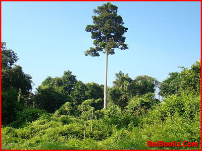 Hollong - State Tree of Assam