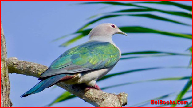 Green Imperial Pigeon - State Bird of Tripura