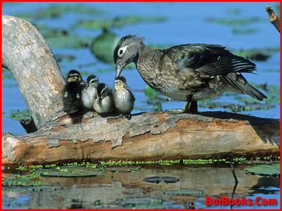 White-Winged Wood Duck - State Bird of Assam