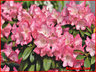 Pink Rhododendron - State Flower of Himachal Pradesh