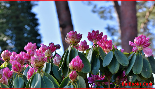Rhododendron - State Tree of Sikkim