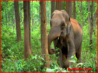Asian Elephant - State Animal of Jharkhand