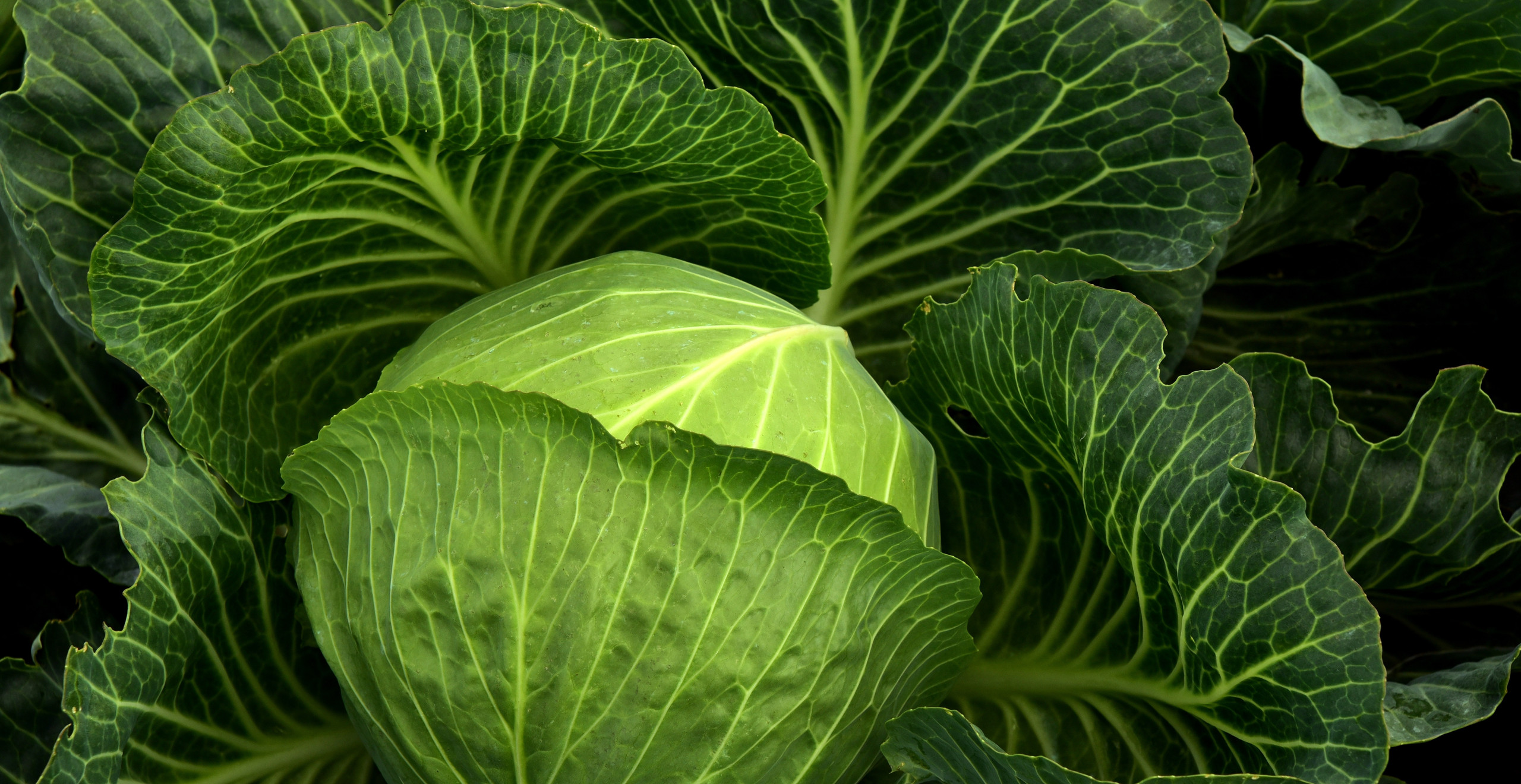 Cabbages are the rich source of vitamin D