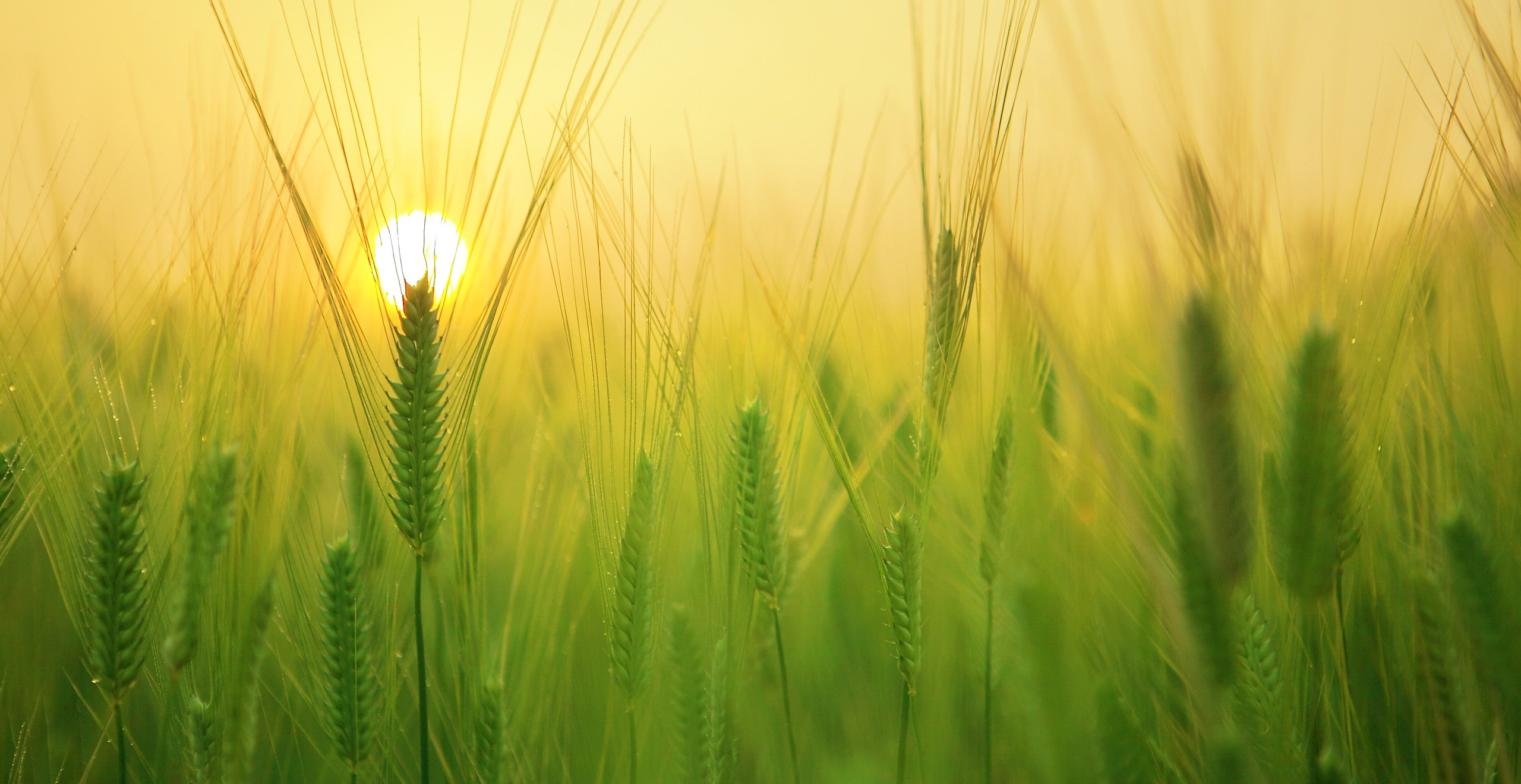 Wheat germ oil is rich source of vitamin E