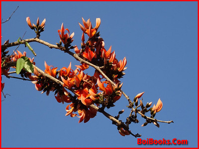 Palash Flower - State Flower of Jharkhand