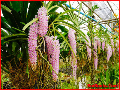 Fox-tail Orchid - State Flower of Assam