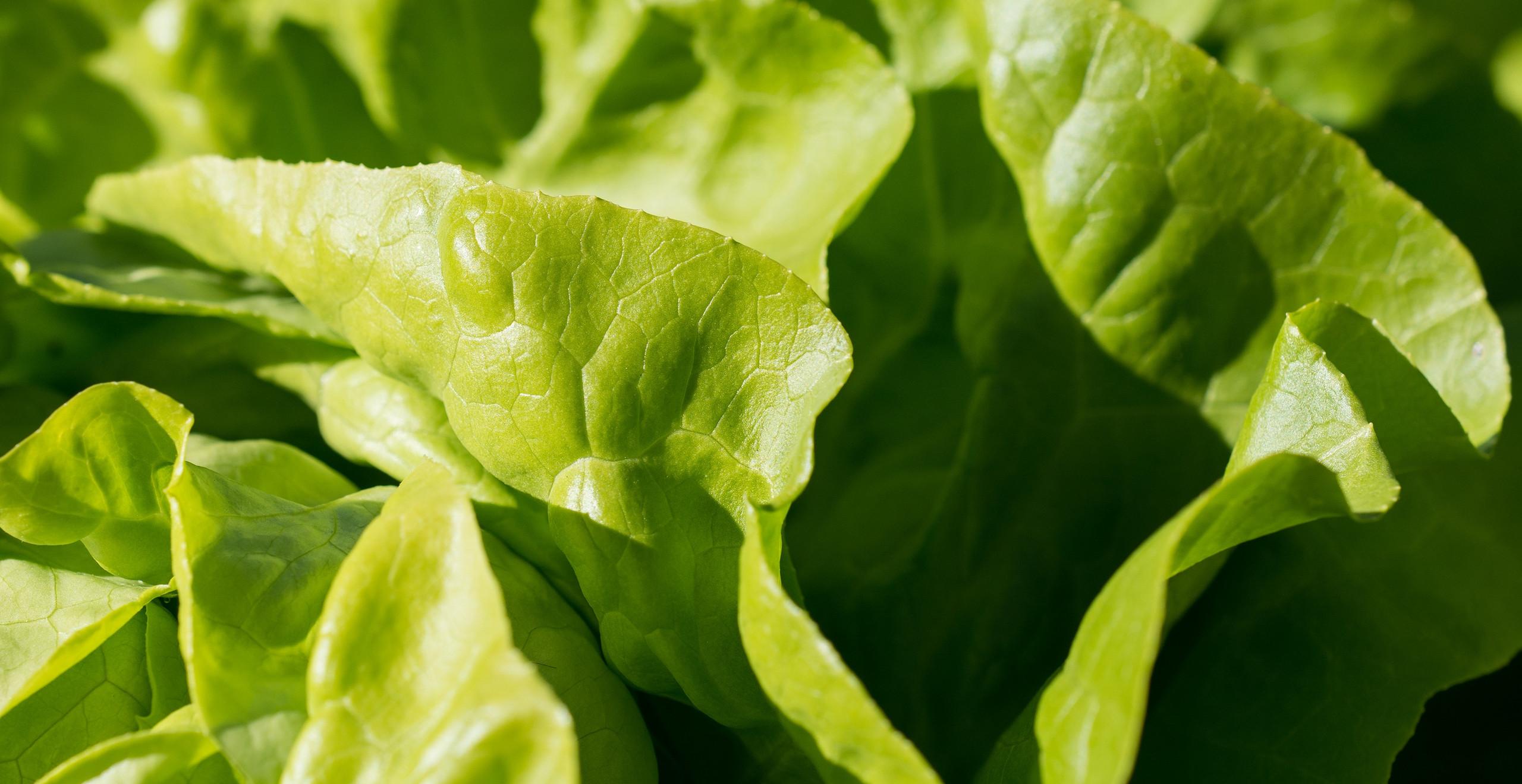 Green Fresh lettuce are the rich source of Vitamin E