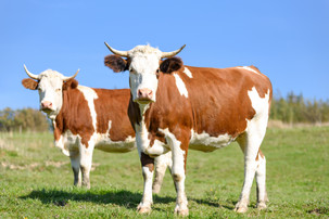 Cow Milk is a food that contains all types of vitamins and minerals as well as vitamin c