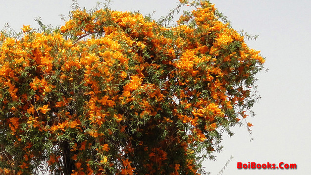Rohina - State flower of Rajasthan