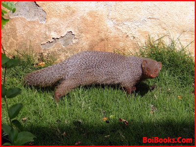 Indian Gray Mongoose - State Animal of Chandigarh