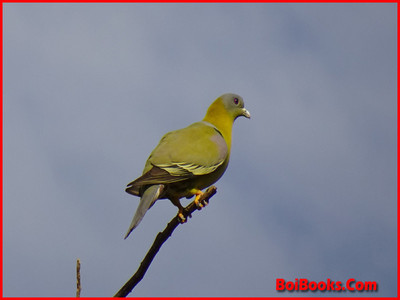 Yellow Footed Green Pigeon - State Bird of Maharashtra