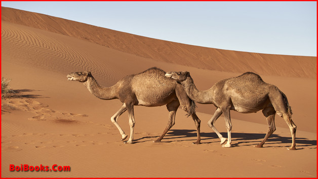 Dromedary - State Animal of Rajasthan