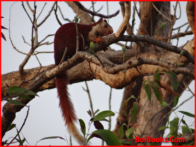 Indian Giant Squirrel - State Animal of Maharashtra