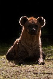 18_CHRIS_HYENA_TEGENLICHT - Christiaan D