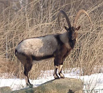 Goat genetics