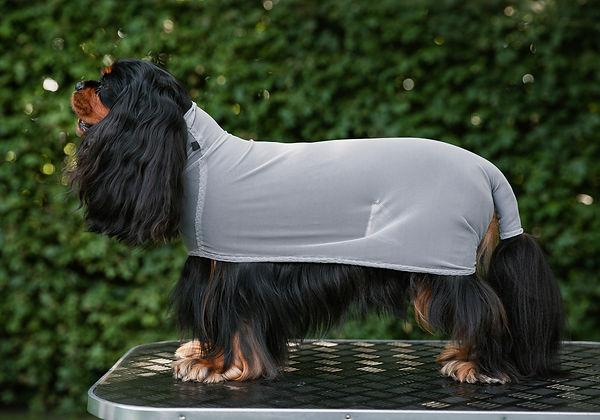 Drycoat   cavalier king charles spaniel