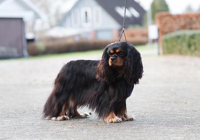 Showdog | cavalier king charles spaniels