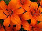 IMG_0226 Dbl bloom (640x480).jpg