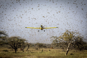 Drones vs locusts: Battling swarms with aerial search and destroy missions