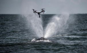 Why are scientists using drones to catch whale snot?