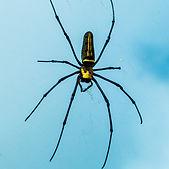 Araignée noire et jaune