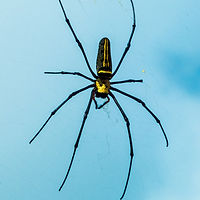 Black and Yellow Spider