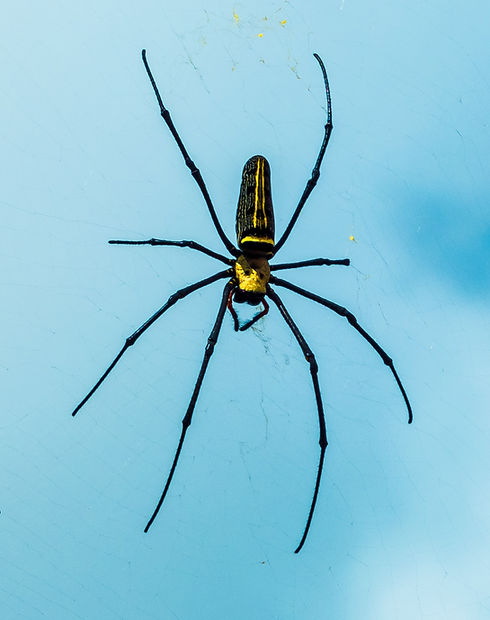 Schwarze und gelbe Spinne