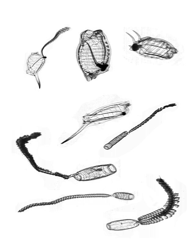 Salps and doliolids