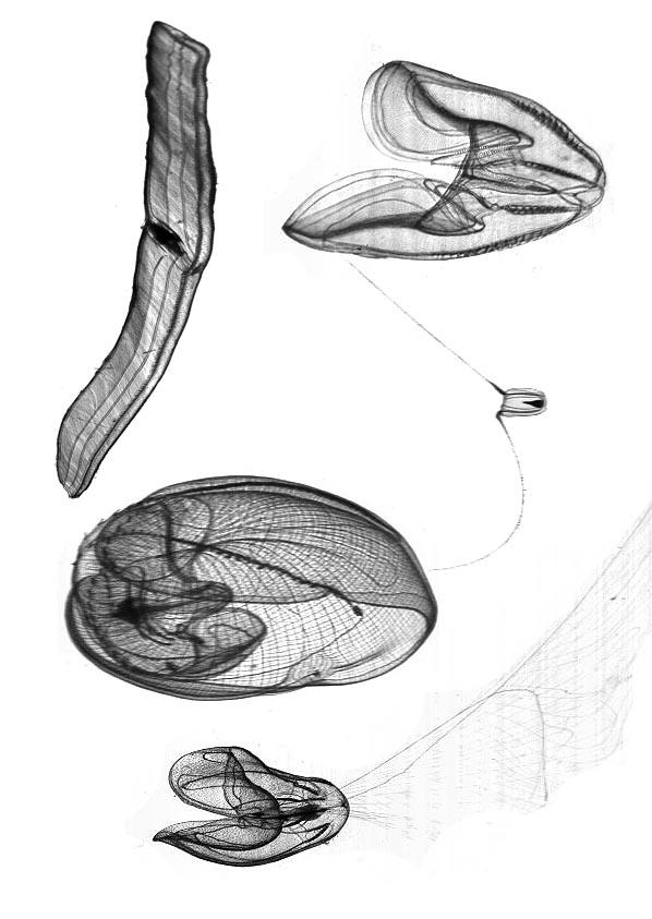 Ctenophore serie