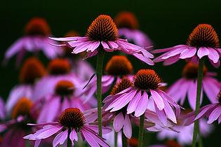 echinacea-flowers-emanuel-tanjala.jpg