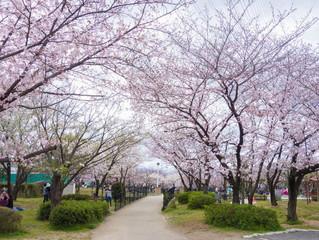 Cherry blossoms in Higashiosaka