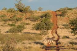 Zebra in traumhafter Landschaft