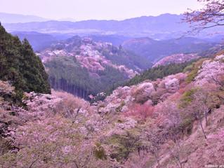 Cherry blossoms in Yoshinoyama