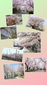 Beautiful Cherry blossoms in Higashiosaka