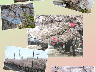 Beautiful Cherry blossoms in Higashiosaka