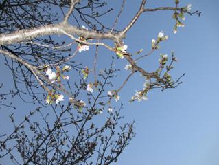 Hyotanyama's cherry blossoms