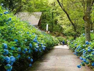 Hydrangeas in Higashiosaka-shi