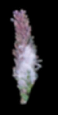 giedriaus augalu pazinimas 3 stiebai ir