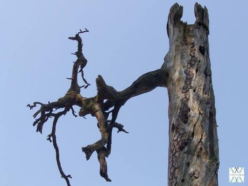 Medžiai senoliai