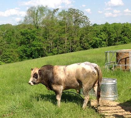 Piedmontese Bull