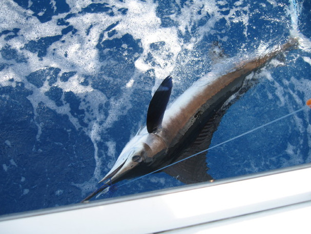 Paul Veales - White Marlin