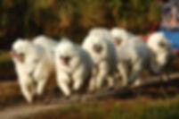 Samoyede_1.jpg
