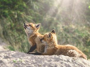 fox pups.jpg