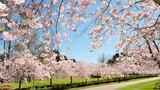 桜がきれいな時期です