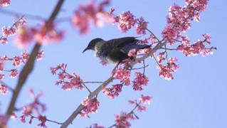 ニュージーランドの9月は桜の季節