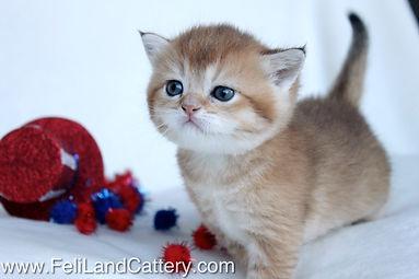 Feliland Cattery British Shorthair Cats